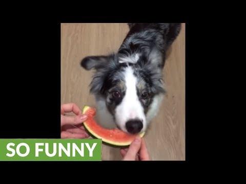 Australian Shepherd's favorite snack is juicy watermelon