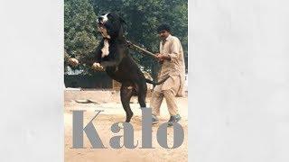 Kalo Bully Kutta Hazara Dog Breeder