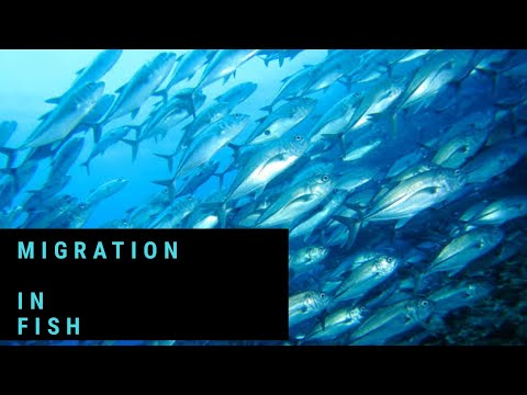 Migration In Fish ( Easy And Detail Information)