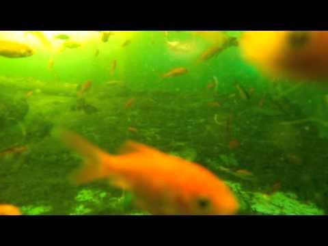 Modular Aquaponics 1/2 (1000's Of Goldfish Eating Duck Weed).