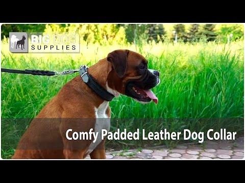 Watch Awesome Boxer Wearing Classic Dog Collar with Durable Stitching and Soft Padding