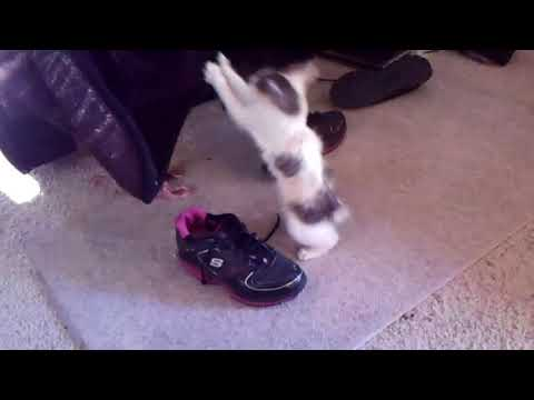 Japanese Bobtail Who Loves Sneakers