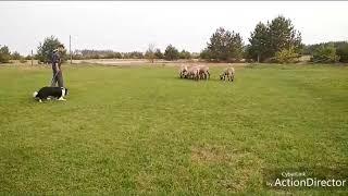 Тренировка молодого бордер колли. Обучение пасти овец.