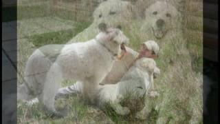 Мареммо-Абруцкая овчарка Ромул Фабий http://guardiyabianco.ru/