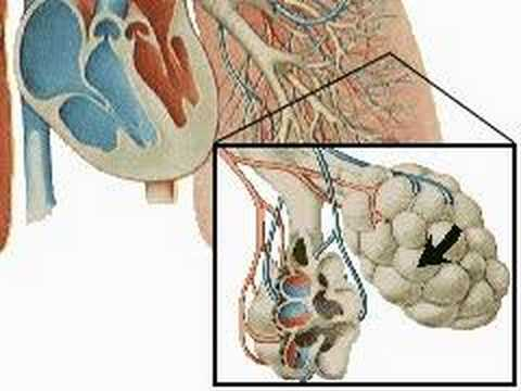 How the Body Works : The Respiratory System