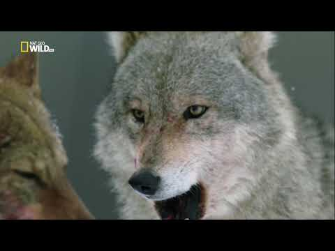 National Geographic: Дикая природа России / Wild Russia -  Холодное сердце Сибири