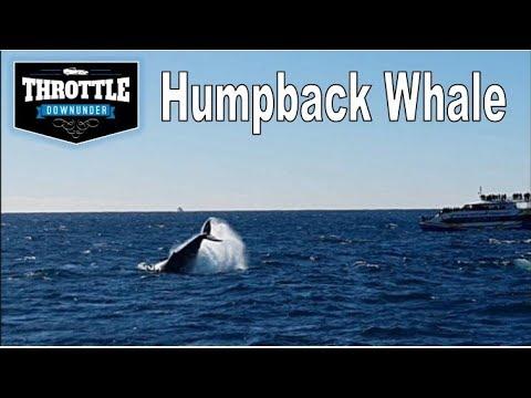 Whale Watching In Australia (Humpback Whale)