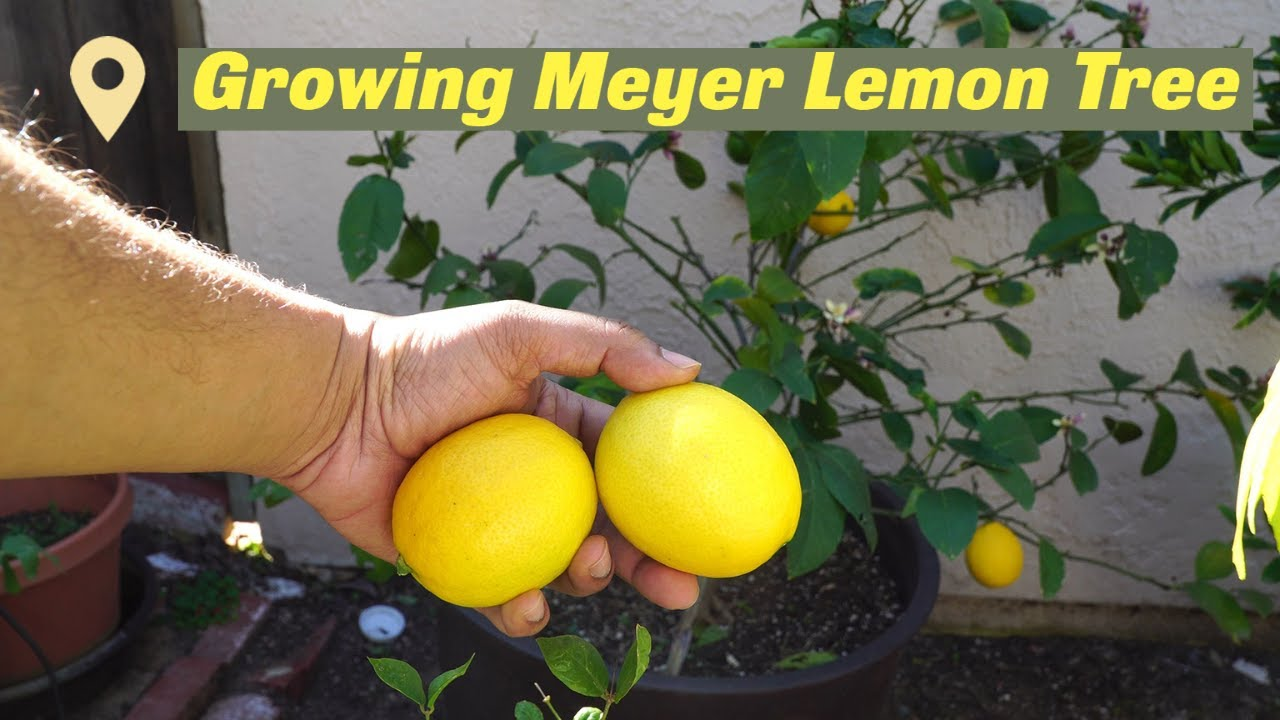 Growing meyer lemon in containers best lemons for Planting lemon seeds for smell