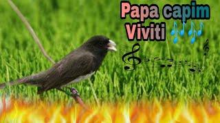 Papa capim Viviti melodia 5 horas de treinamento. 🐦