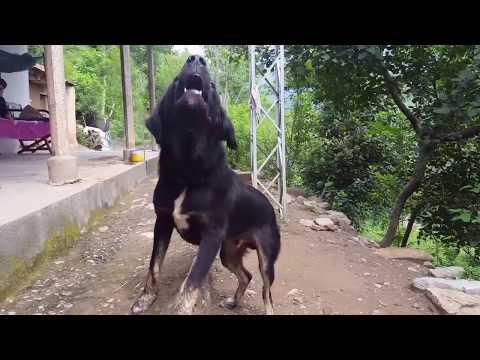 7 months old Bakarwal Dog