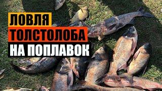 ЛОВЛЯ ТОЛСТОЛОБА на ПОПЛАВОК КАРП БЕЛЫЙ АМУР РЫБАЛКА FISH HUNTER