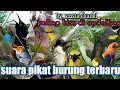 Suara Pikat Andalan Paling Di Cari  Mp3 - Mp4 Download