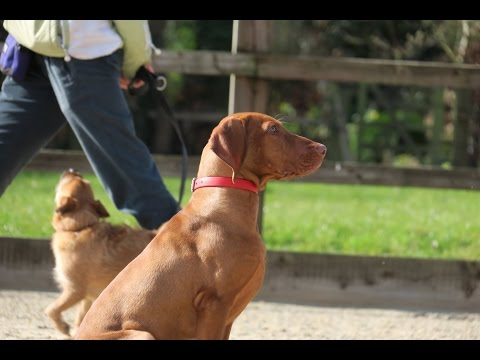 Chester - Hungarian Vizsla Puppy - 4 Week Residential Dog Training at Adolescent Dogs