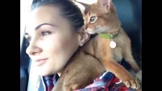 Абиссинский котенок, Баунти, 2 месяца