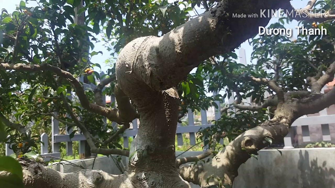 Cây bonsai, cây cảnh , cây thế đẹp