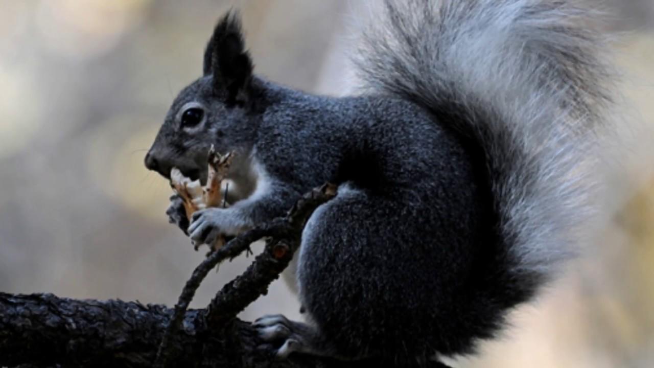 Squirrel Sounds - AverageOutdoorsman