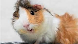 Почему морская свинка так называется
