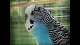 R.I.P Lil Johnny(Волнистых попугаев)
