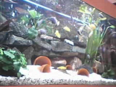 aquarium cichlid s juwel 240 litres youtube. Black Bedroom Furniture Sets. Home Design Ideas