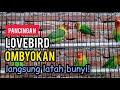 Pancingan Lovebird Ombyokan Agar Lb Rajin Bunyi Ngekek  Mp3 - Mp4 Download