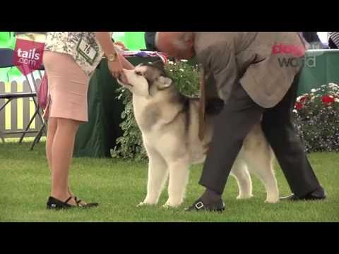 Windsor Dog Show 2016 - Working group