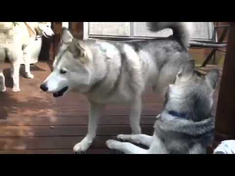 Husky Guard Dog Youtube