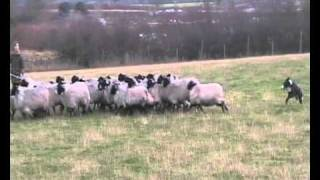 Border Collie Rescue - Pip Dreams Of Electric Sheep