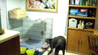 Most Funny Stand Up Comedy Sketch Ever Weimaraner Dog Runs From Med Unlocks Cage Double Locked