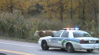 Cops scare and over kill young calff. trigger happy animal cruelty 101 Gatineau Quebec.