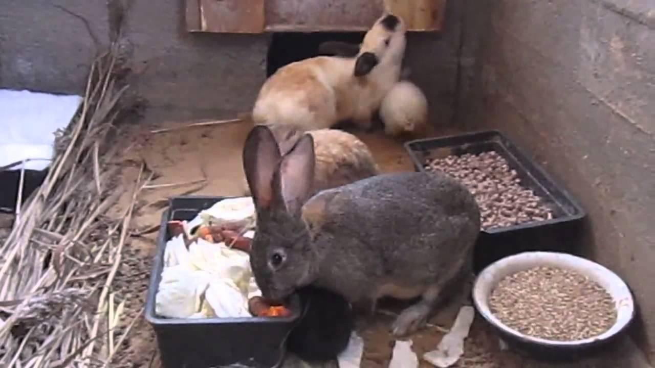 выращивание кроликов в ямах