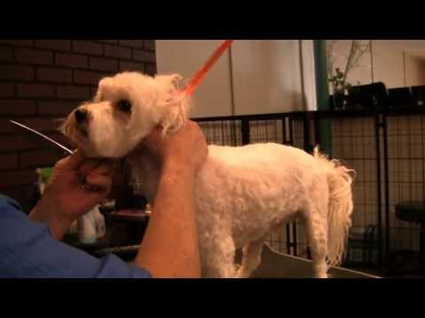 Learn How to Groom a Maltipoo at Home Grooming Maltipoos