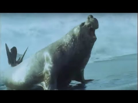 Elephant Seals - Life in the Freezer - BBC