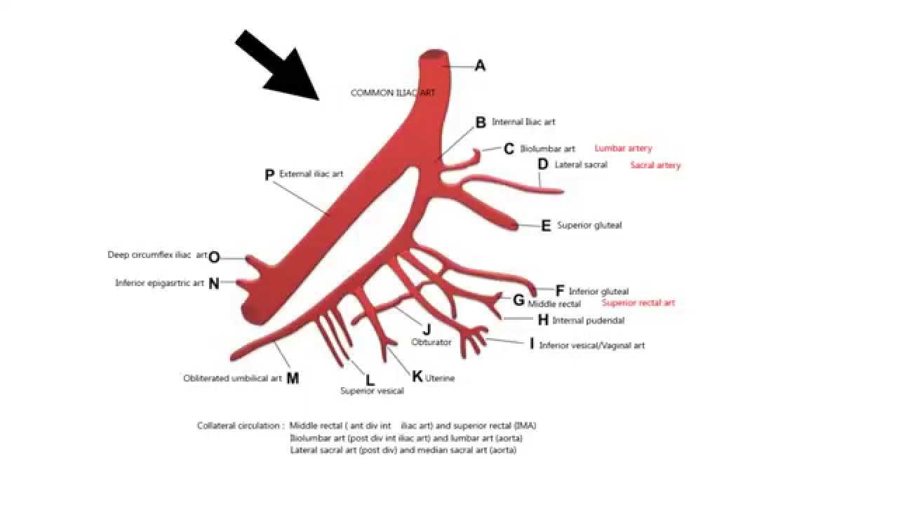 INTERNAL ILIAC ARTERY AND ITS BRANCHES - YouTube