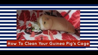 How To Clean Your Guinea Pig's Cage