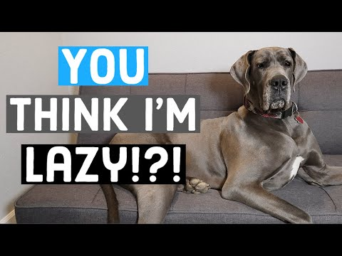 Just HOW lazy are Great Danes? What to expect as an owner | Great Dane Care