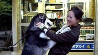 看板犬のアラスカンマラミュートのあや子ちゃん。 まだ、1歳チョット。...