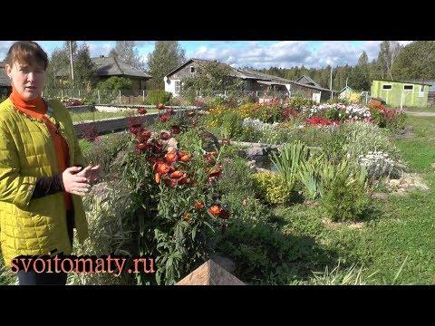 Гелихризум – выращивание. Неприхотливый сухоцвет, радующий цветением до заморозков
