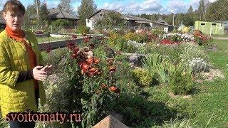 видео Гелихризум, бессмертник (Неlichrysum Mill.)