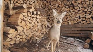 Русский Бэмби: на Урале семья приютила раненого оленёнка