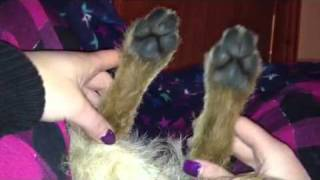 Border Terrier Dancing Paws