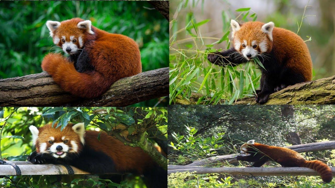 World's Weirdest Cute Animals : Red Panda | Himalayan Zoological ...