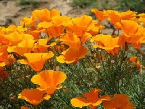 556 How To Grow N Care California Poppy Hindi Urdu 11117
