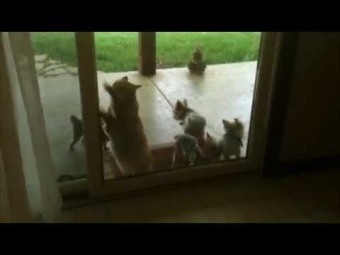 Helpful Cat Opens Door for Puppies