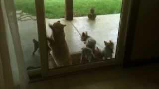 Helpful Cat Opens Door for Puppies
