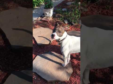 Pit bull jack Russell mix VERY alert