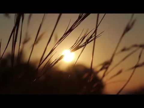 Sunrise through Tall Grass Blowing in the Wind - Royalty Free HD Stock Video Footage
