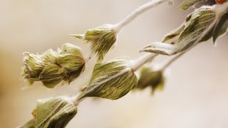 Organic Greek Mountain Tea & Herbal Teas | Klio Tea