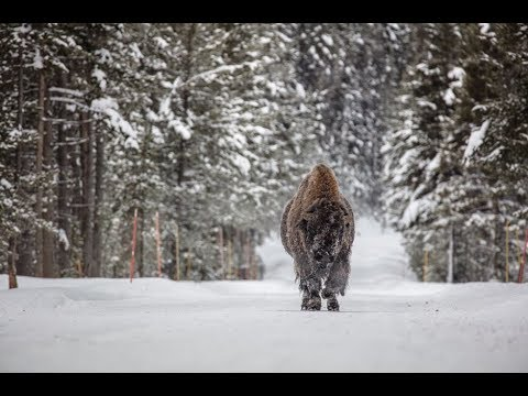 Montana bison hunt outside Yellowstone National Park