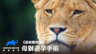 母獅避孕手術被青少年公獅環繞的困擾動物星球頻道
