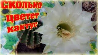 Сколько  цветет кактус ?  Очень красивый цветок. How many blooms cactus